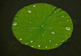 Lilypad in the rain