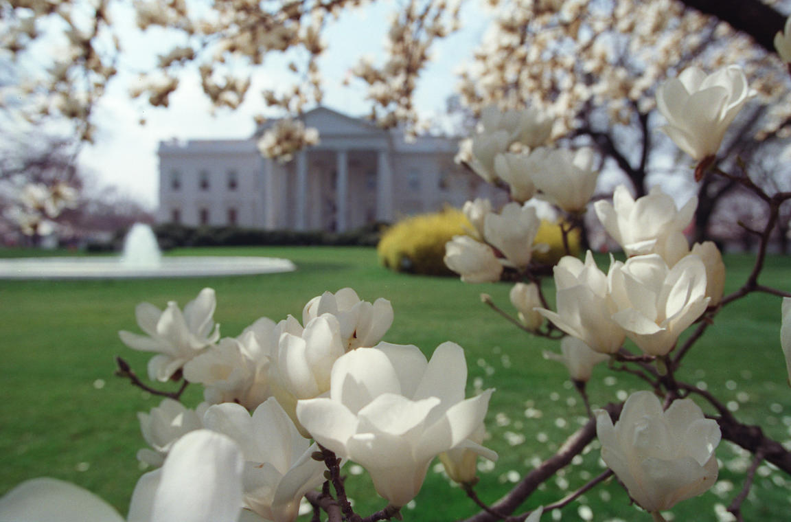 Magnolia tree, North Lawn, White House.