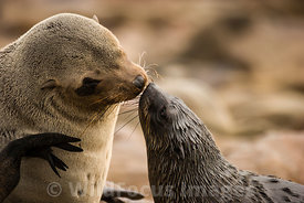 Mum and baby, Cape Fur seals, Arctocephalus pusillus pusillus, Cape Cross Seal Colony, Skeleton Coast, Namibia; Landscape