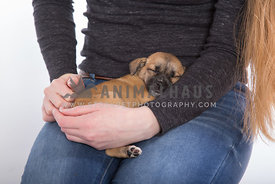 Little brown puppy sleeping on girl's lap