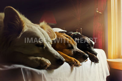 Three dogs sleeping in a row on the bed