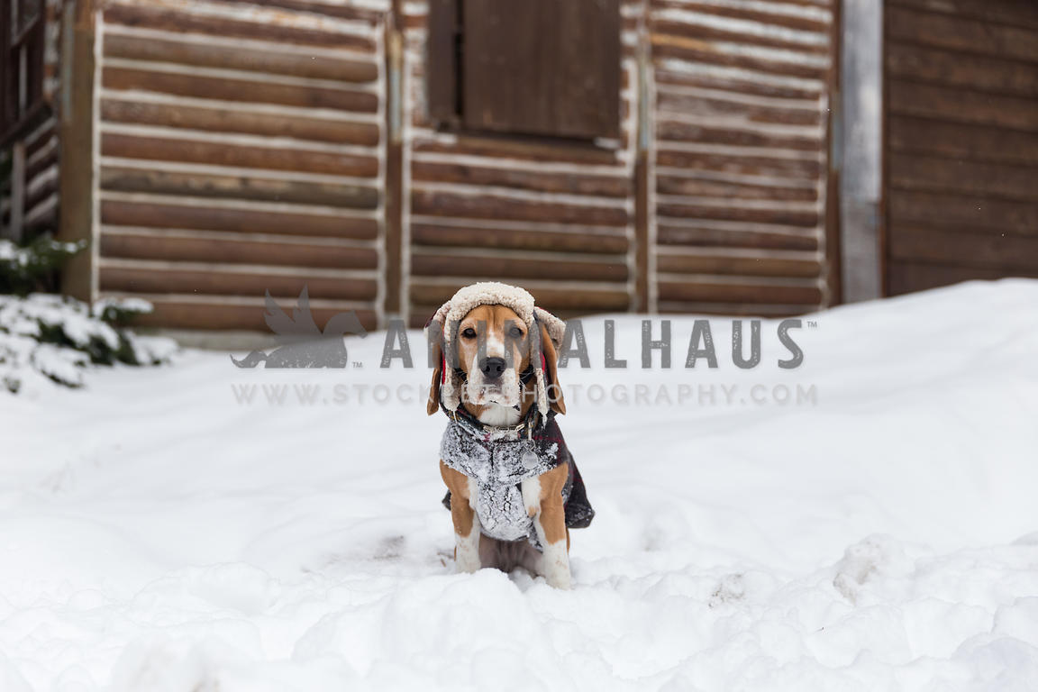 Dog with snow hat at log cabin in winter