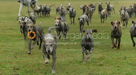 Very dirty Cottesmore hounds