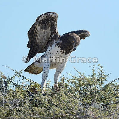 Martial Eagle (Polemaetus bellicosus) just about to take off carrying prey Helmeted Guineafowl (Numida meleagris), Etosha, Na...
