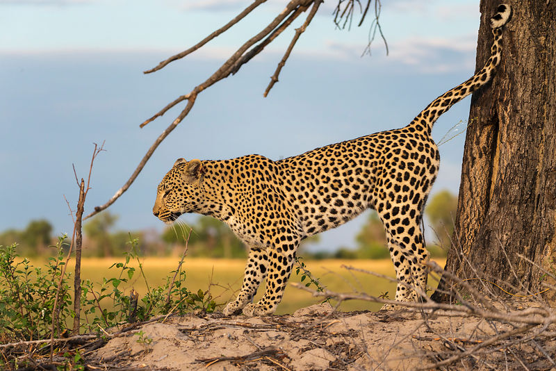 Female Leopard Scent Marking