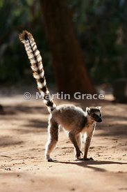 Ring-Tailed Lemur (Lemur catta) backlit by early morning sun, Berenty Reserve, Madagascar