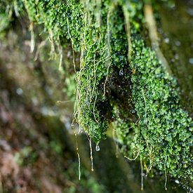 Water dripping from lichen