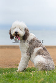 large sheepadoodle puppy sitting and panting