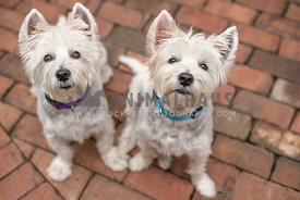 two westies sitting on brick patio looking up eye contact
