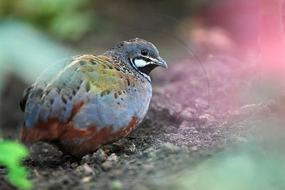 Caille peinte de Chine - Chinese Painted Quail (Coturnix chinensis)