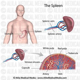 The spleen anatomy labeled diagram.