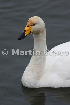 Close-up of head and neck of a Whooper Swan (Cygnus cygnus), Dumfries & Galloway, Scotland