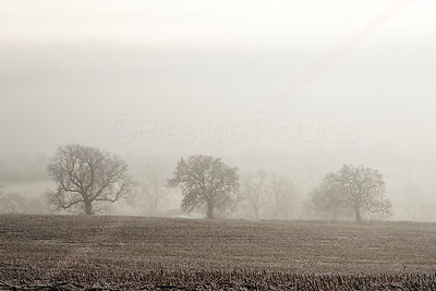 Three trees on a Cotswold misty morning