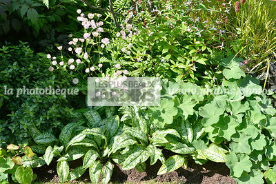 Association de vivaces : Alchemilla mollis, Pulmonaria spp., Astrantia major. Paysagiste : Peter Reader, Hampton Court, Angle...