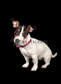 cute jack russell puppy with dark background
