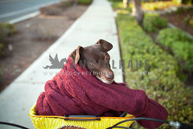 Senior-Mixed-Breed-Chihuahua-in-Bike-Basket