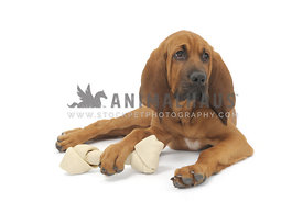 Bloodhound puppy with rawhide bone against white background