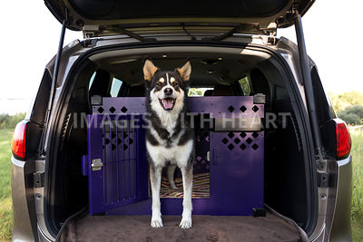 husky dog riding in a mini van inside crate