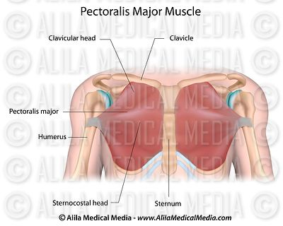 Pectoralis major muscle