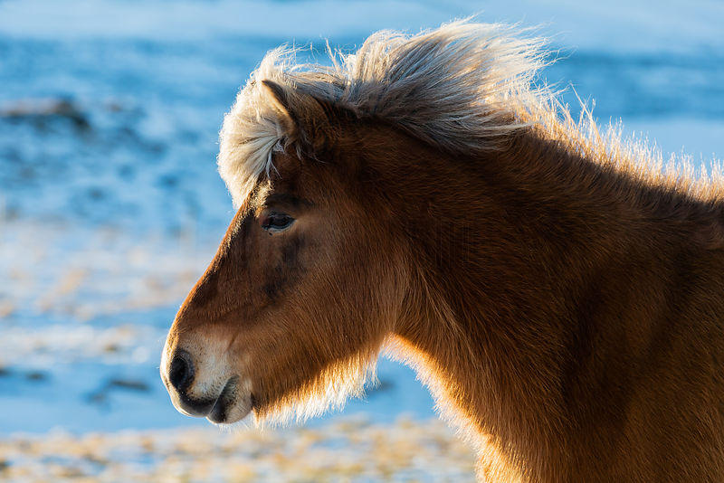 Backlit Portrait of an Icelandic Horse