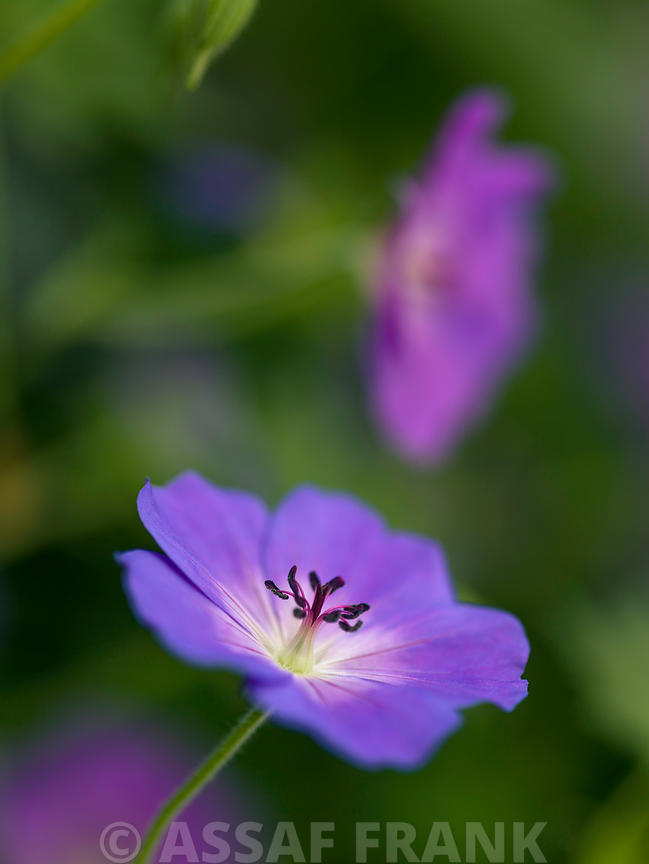 Geranium flower close-up