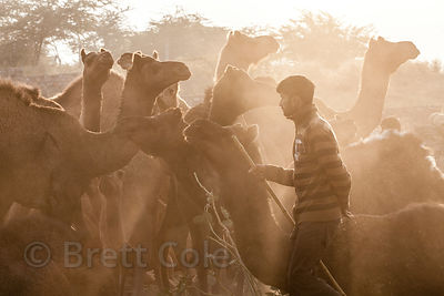 Sunrays fall on a camel herder at the Pushkar Camel Mela, Pushkar, Rajasthan, India.