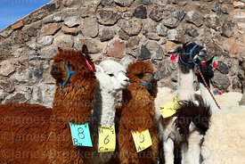 Alpacas and a llama (R) that have been selected for participation in fair tagged with category, sex and number, Curahuara de ...