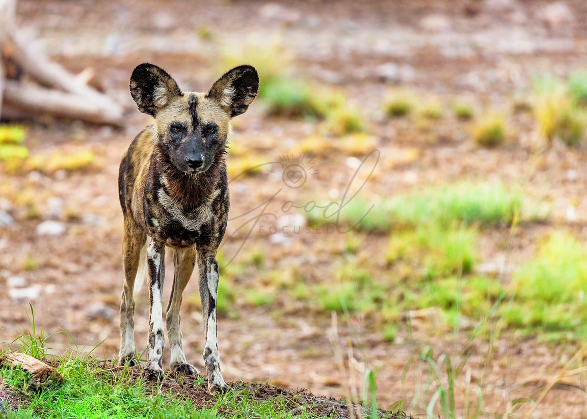 African Wild Dog Standing Looking at Camera