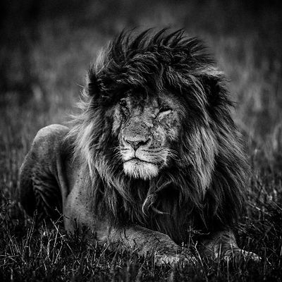 4314-Lion-My_name_is_scarface_Kenya_2013_Laurent_Baheux