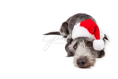Santa Crossbreed Dog Laying With Copyspace