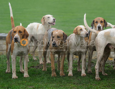 Fitzwilliam Hunt foxhounds