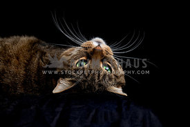 Low-key studio shot of gorgeous tabby cat looking up
