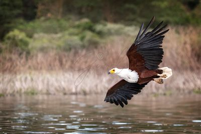 Fish Eagle Soaring Over Lake Naivasha