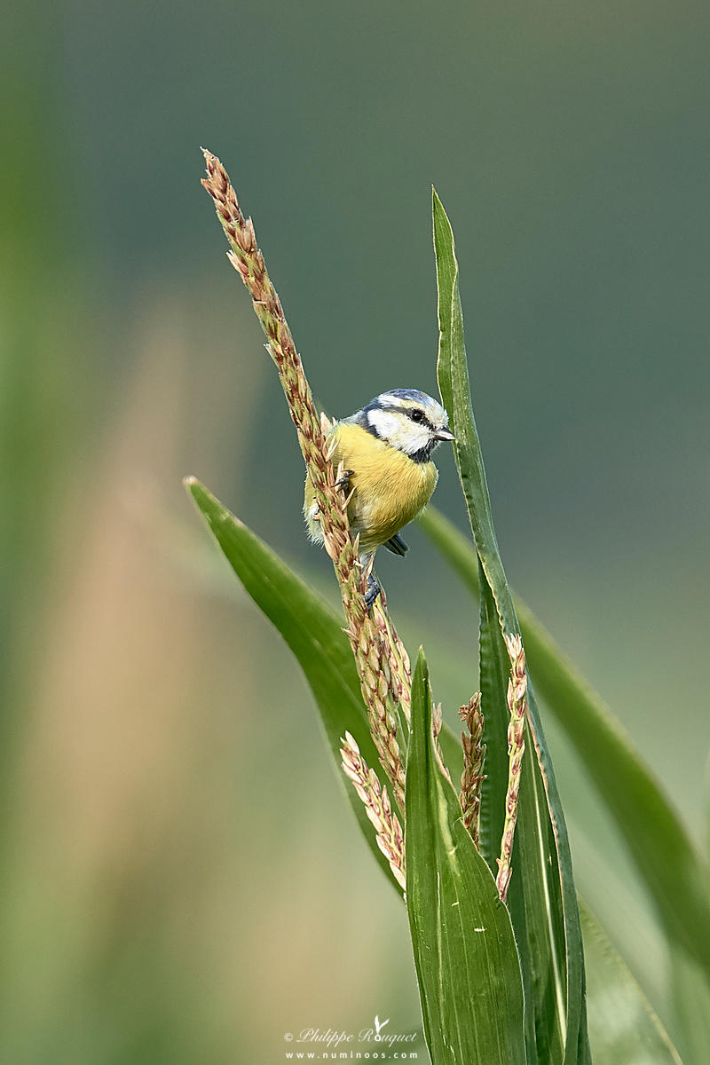 Blue tit clinging to corn tassel