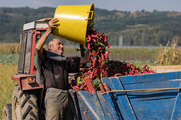 Portrait of Slobodan Emptying Freshly Picked Peppers into a Cart