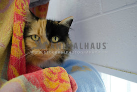A Calico cat peeks out from behind a colourful towel