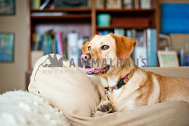 Yellow Lab Basset Hound mix (Bassador) relaxing on the couch