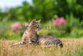 Tabby cat lying in a garden looking alert