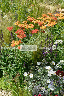 Association de plantes vivaces : Achillea 'Terracotta', Convolvulus cneorum, Paysagiste : Peter Reader, Hampton Court, Anglet...