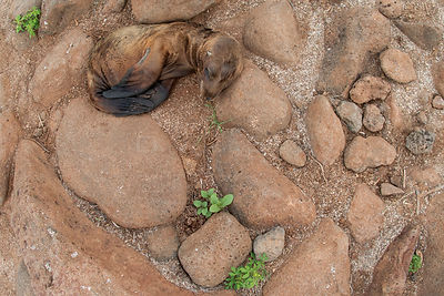 Sea lion (Zalophus wollebaeki) pup sleeping amongst rocks, North Seymour Island, Galapagos, Endangered species.
