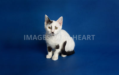 Black and white kitten with mustache sitting on dark blue background paper and looking at the camera