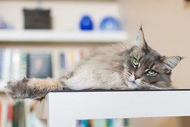 Grey Maine Coon Cat Lying on Glass Table  with Paw Out