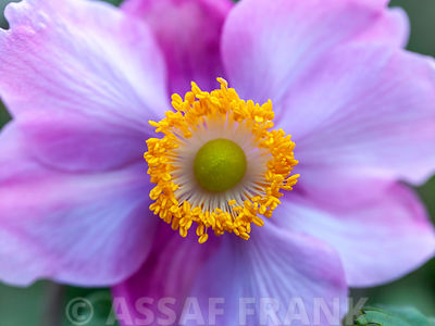 Close up of Anemone flower