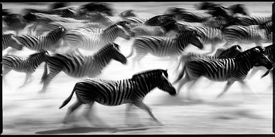5781-Zebras_race_in_the_plain_Tanzania_2007_Laurent_Baheux