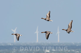 Pink-footed Geese Anser brachyrhynchus flying against strong northerly wind off Salthouse North Norfolk November