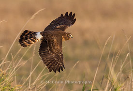 Northern Harrier Hawk