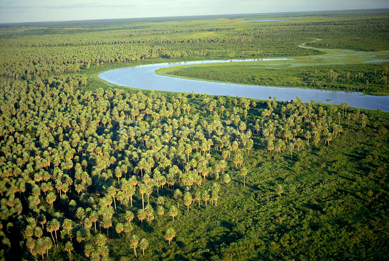 Aerial view of {Copernicia alba} palm savanna. Humid Chaco, Argentina, South America