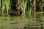 Eurasian Coot with young swimming along in reedlands