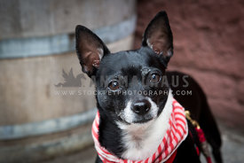 black chihuahua red bandana with ears up