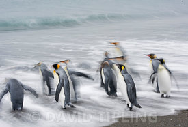 King Penguins Aptenodytes patagonicus going off to sea Salisbury Plain